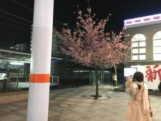 河津桜_004