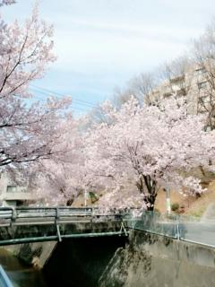 麻生川の桜並木_002