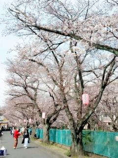 麻生川の桜並木_004