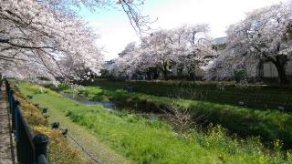 2017野川の桜_003