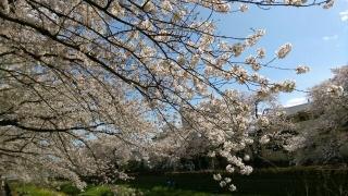 2017野川の桜_004