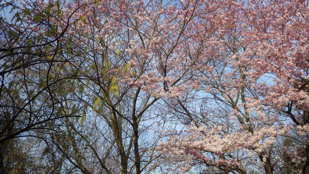 桜ときぶし