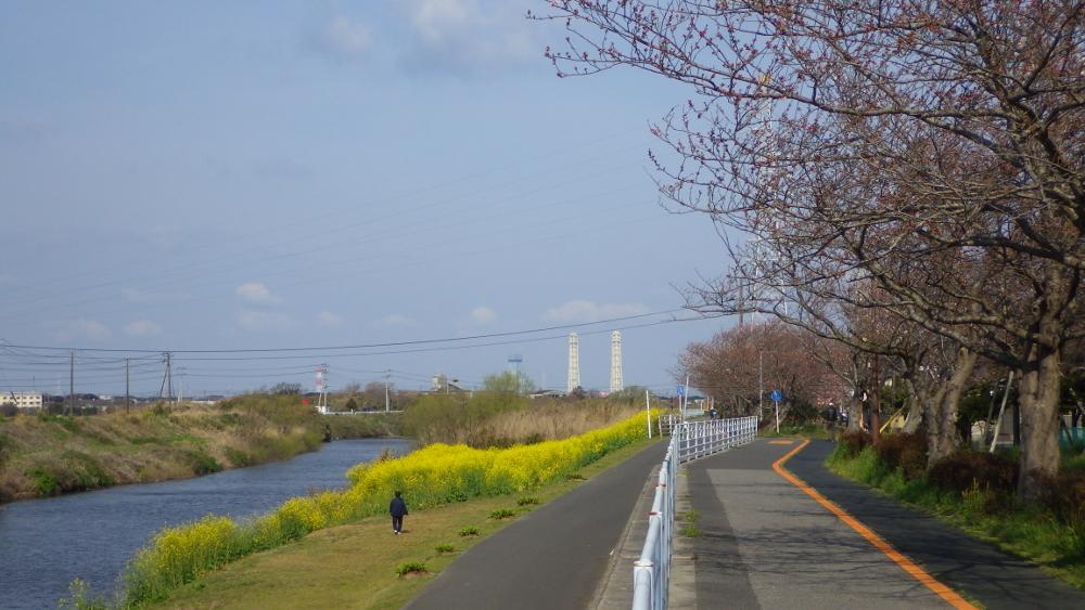 小糸川桜と菜の花01