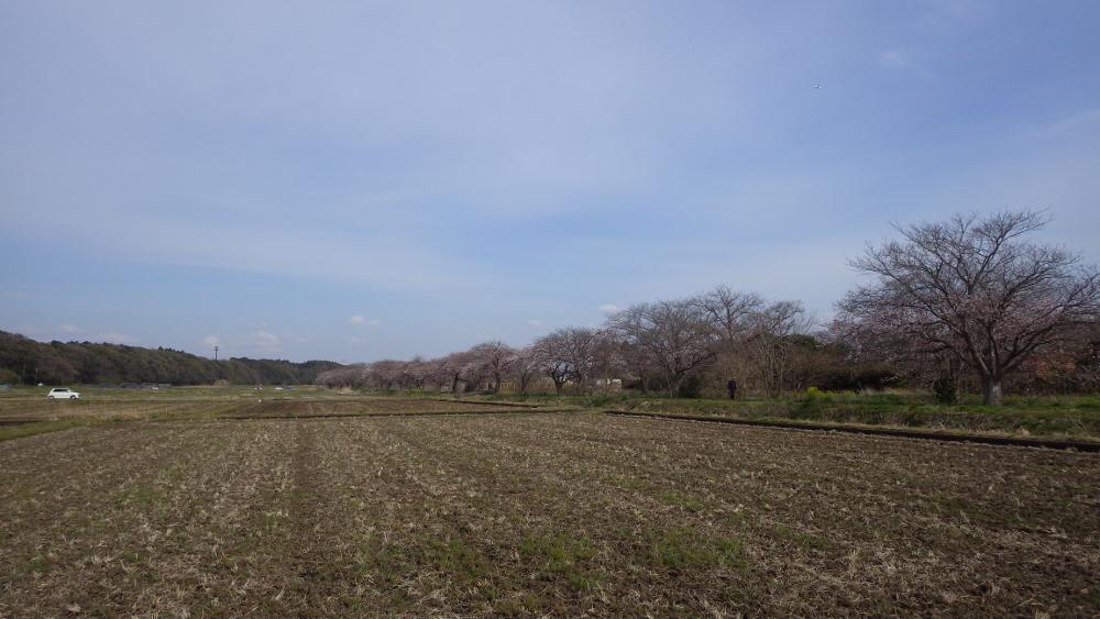 今井の桜01