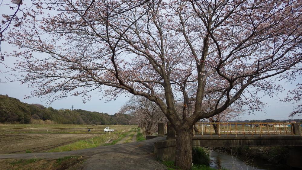 今井の桜03
