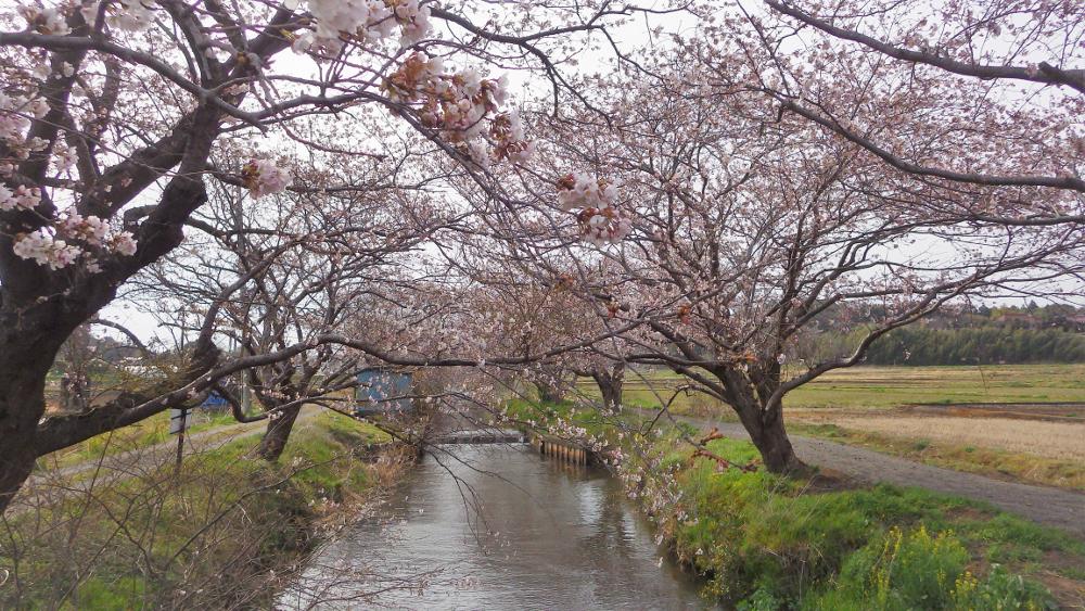 今井の桜04