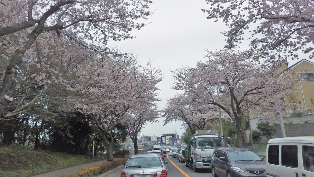 新川お花見渋滞