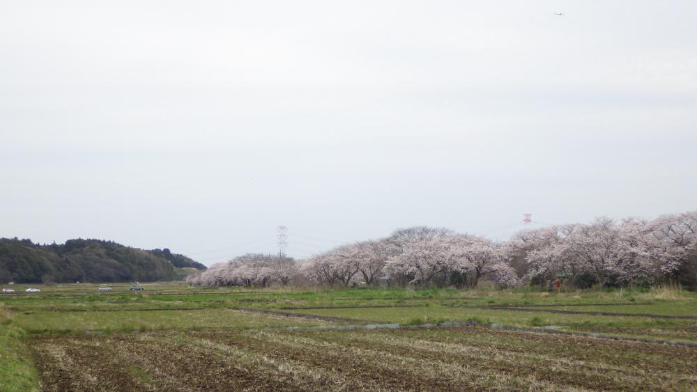今井桜02