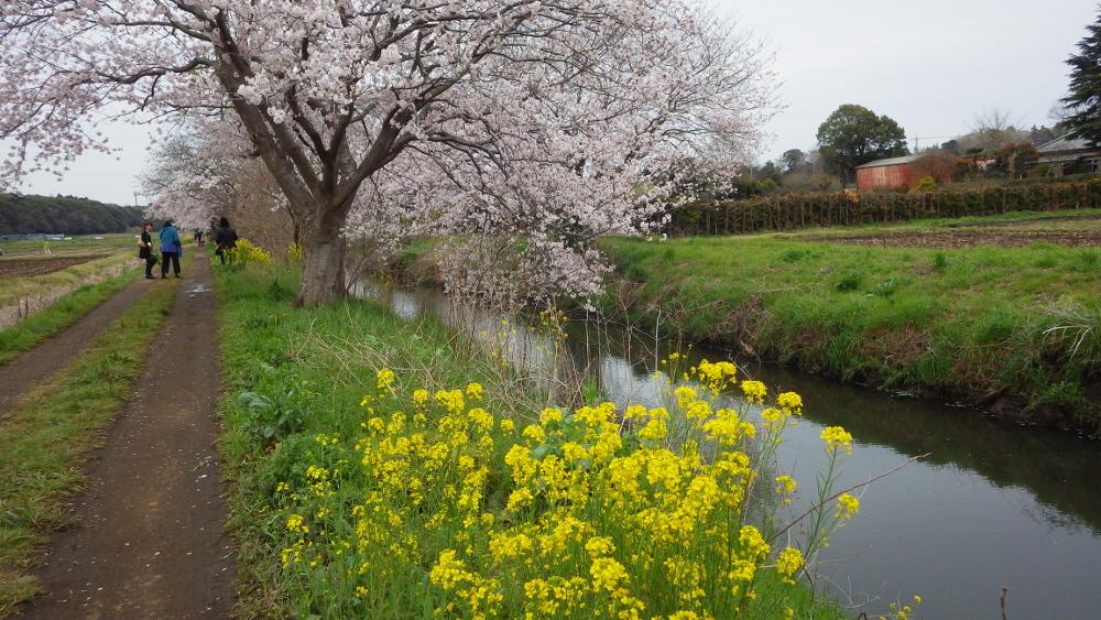 今井桜01