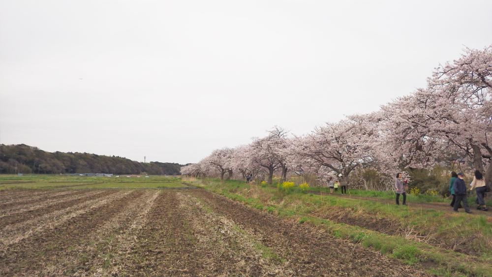 今井桜03