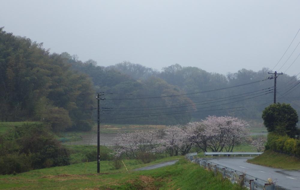 古船[こせ]桜