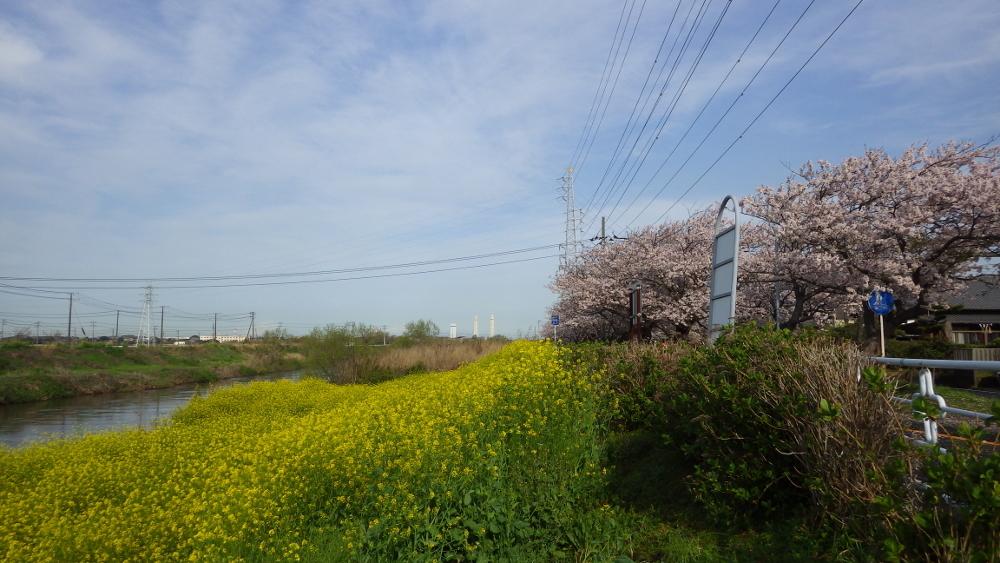 小糸川満開の桜と菜の