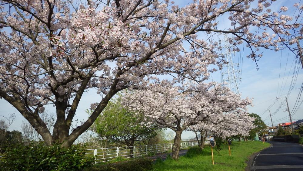 小糸川満開の桜