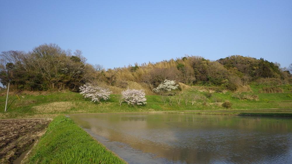 代搔きの終わった田んぼと桜
