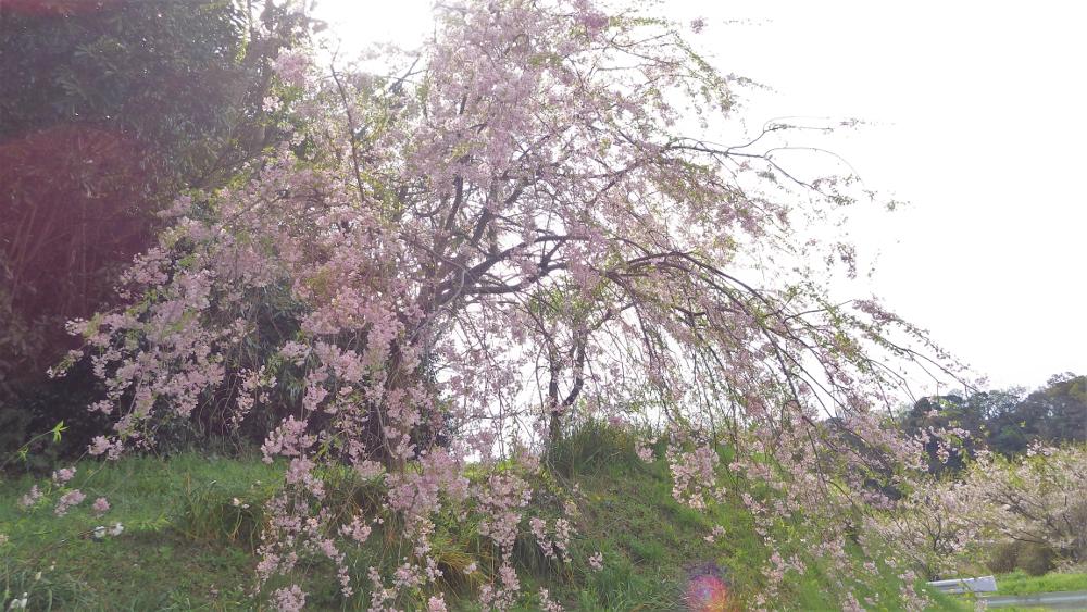 富津市八幡枝垂れ桜