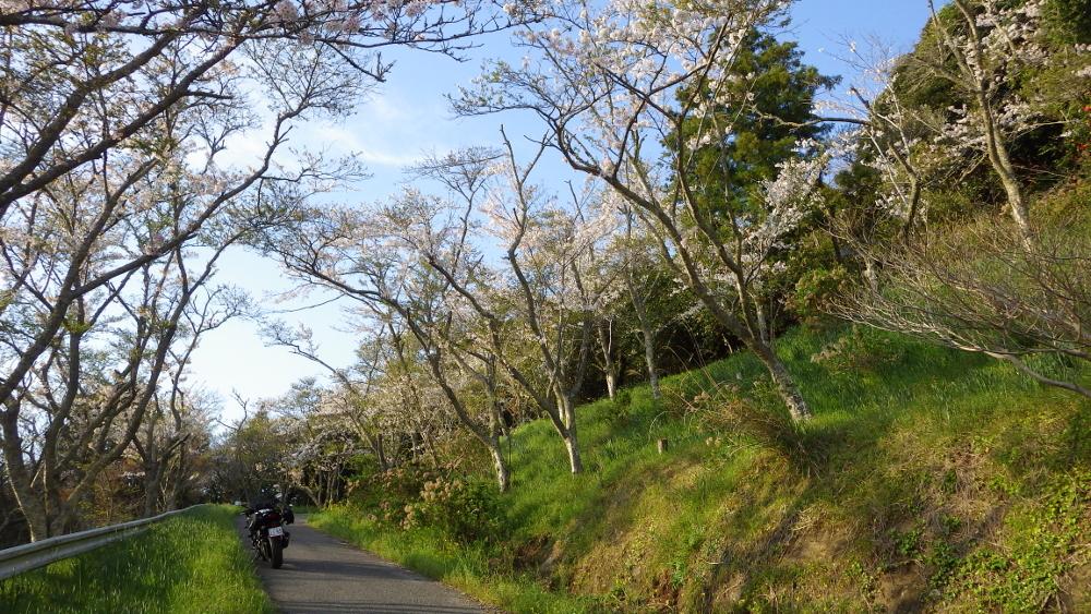 桜に囲まれる