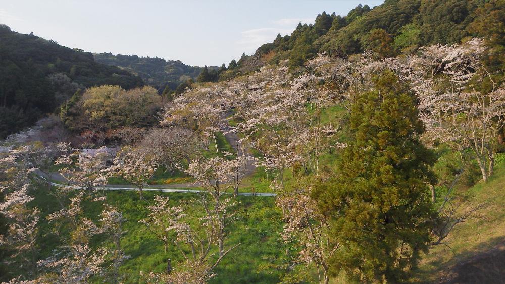 ダム上から桜を見る02