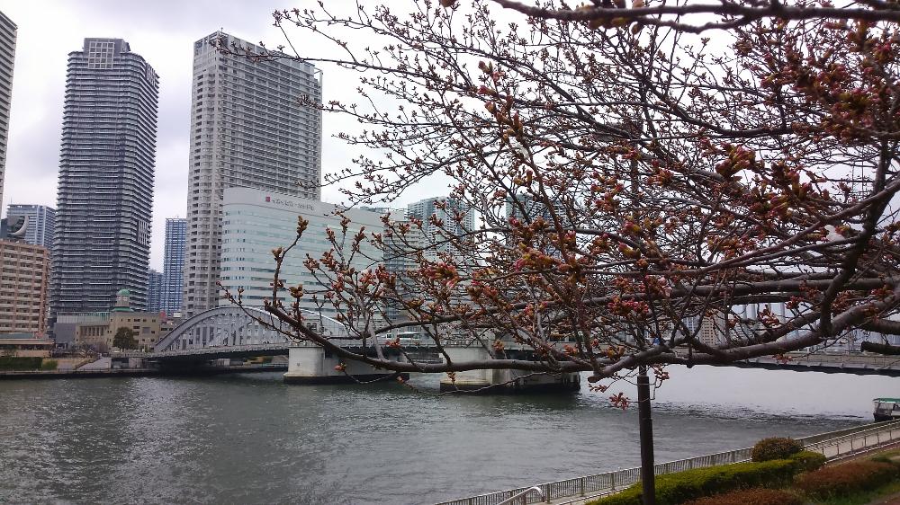 勝鬨橋 桜
