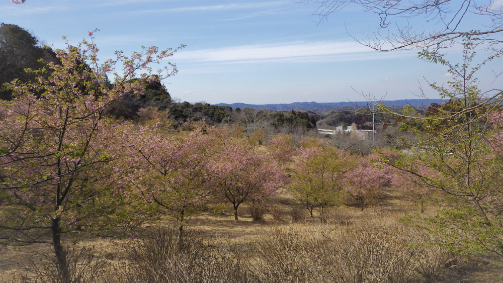 公園の葉桜