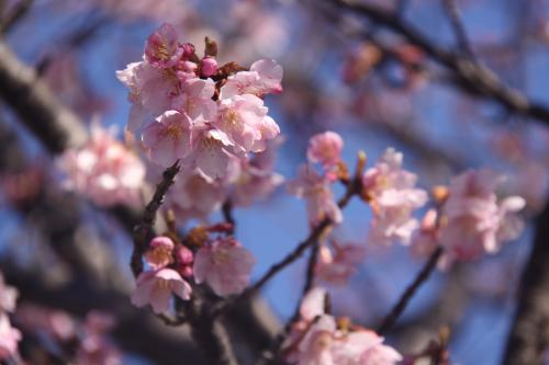 2/10山の手桜