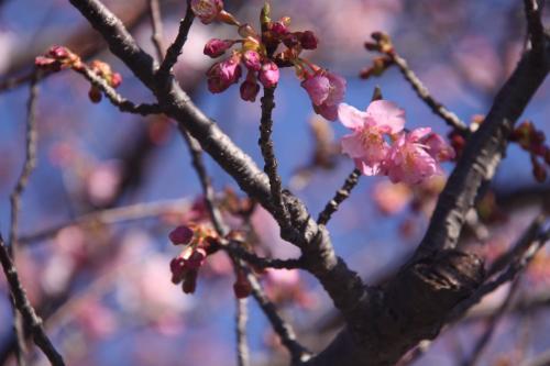 2/10山の手桜2