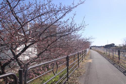 2.12山の手桜