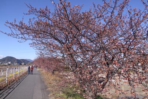 2.12山の手桜2