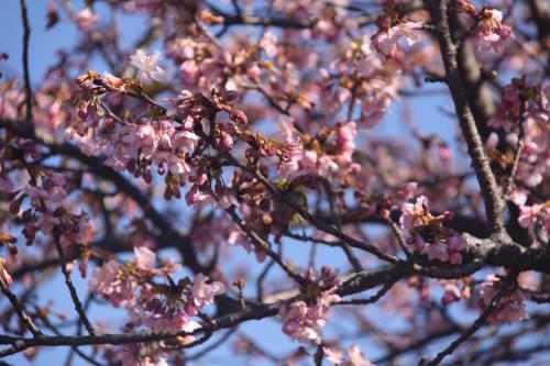 2.12山の手桜3