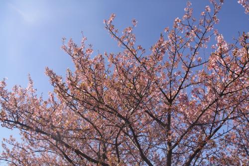 3.4 葉桜