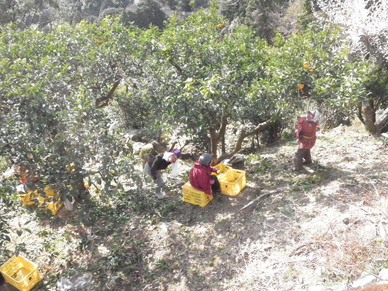 みかん収穫49