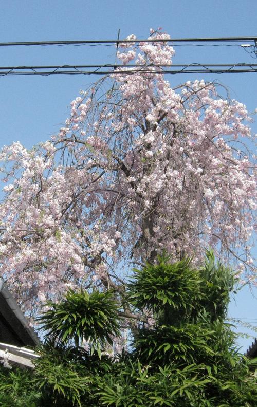 a我が家の桜9