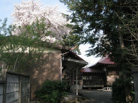 神社と桜3