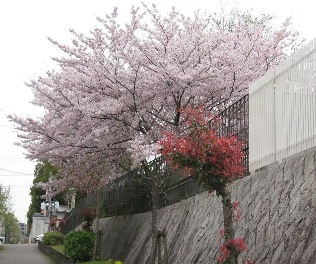 神戸小学校の桜