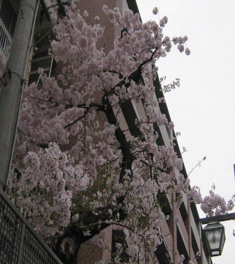 神港学園の桜