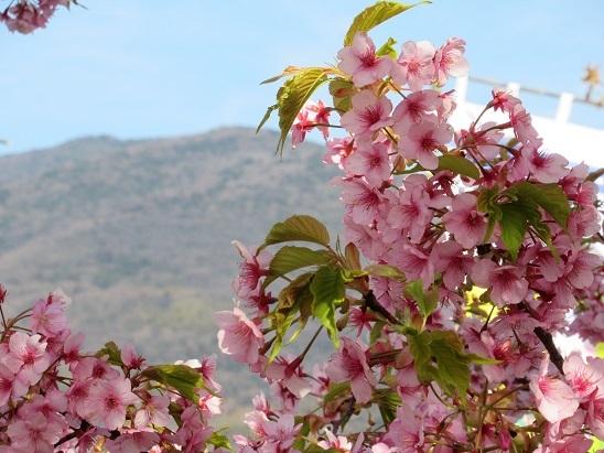 皇座山と桜