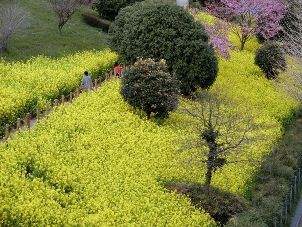 南大沢菜の花