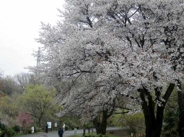山桜紅枝垂れ