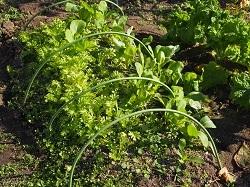 ワサビ菜、