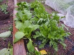 菊菜、青梗菜