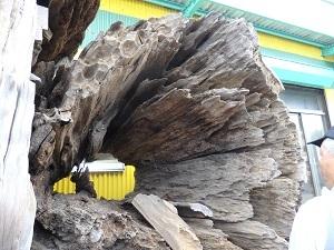 屋久杉工房の保存古木