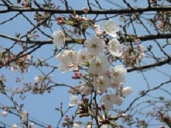 3分咲き4月5日