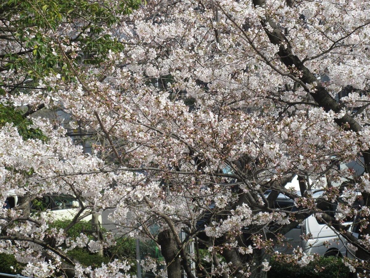 IMG_2230桜一