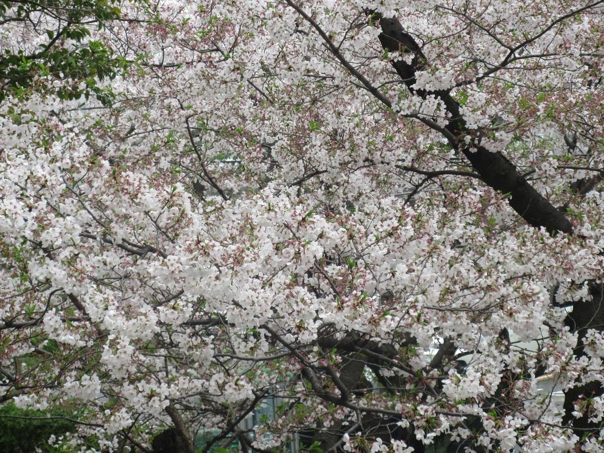 IMG_2265桜