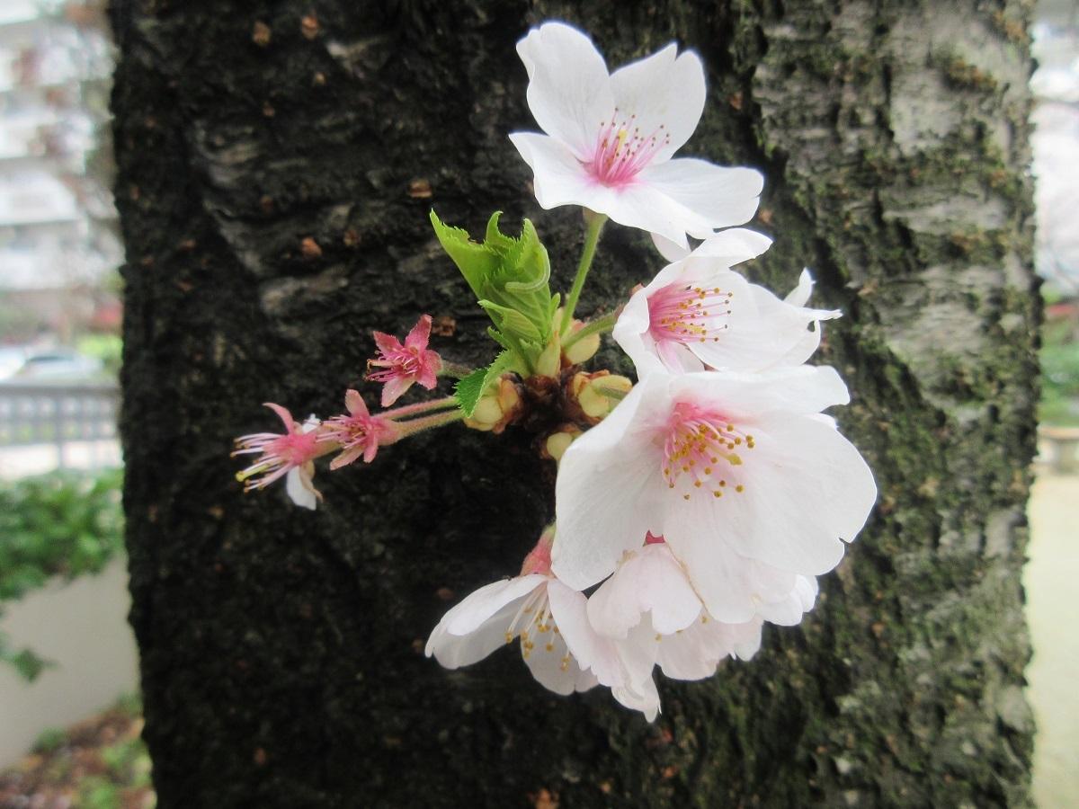 IMG_2264桜
