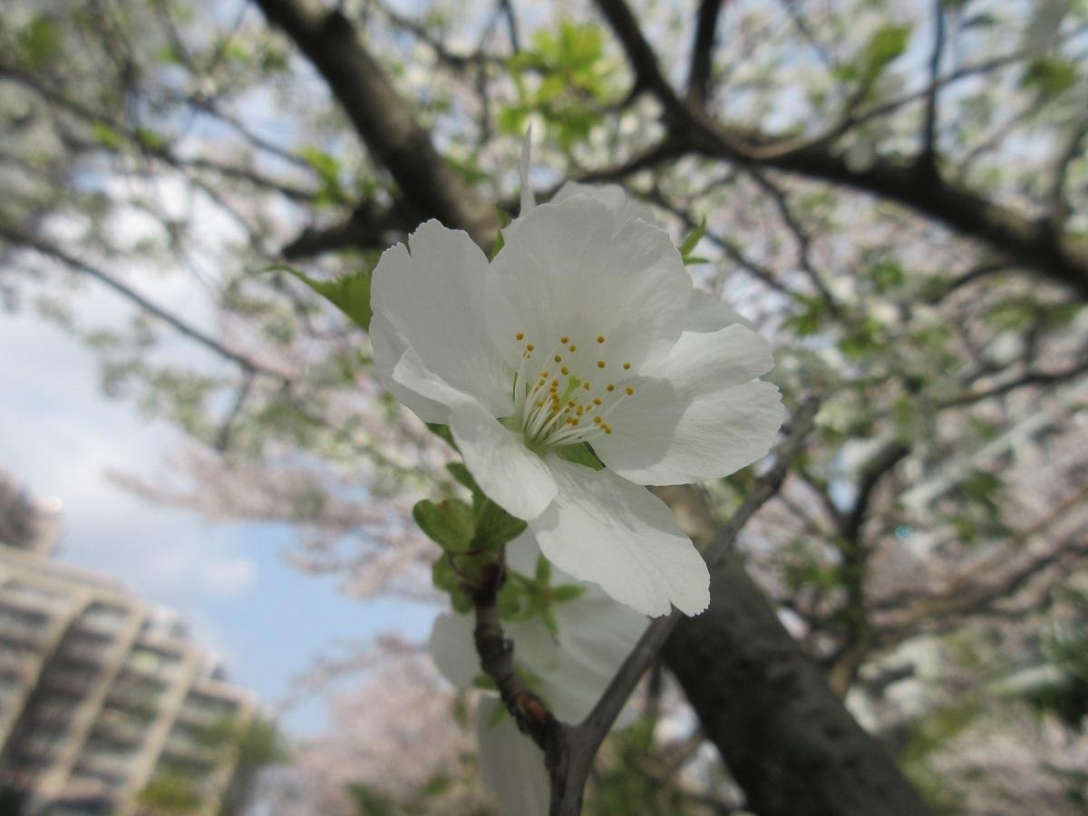IMG_2276桜