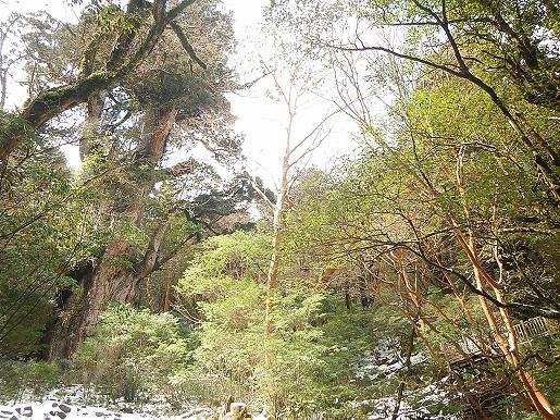 正面デッキからの縄文杉と建設中の北側デッキ