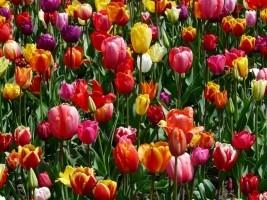 tulips-tulpenbluete-flowers-tulip-field-colorful.jpg