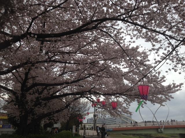 桜201704