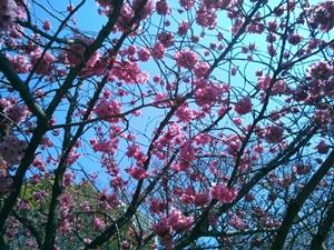 桜の写真(上大岡1)