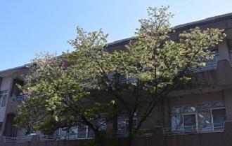桜4月14日